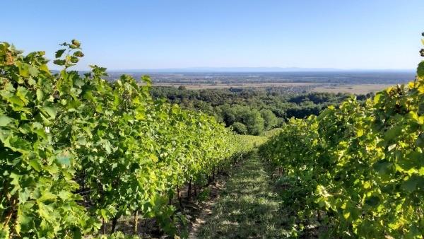 """NATJEČAJ - 4.1.1 """"Restrukturiranje, modernizacija i povećanje konkurentnosti poljoprivrednih gospodarstava"""" – podizanje novih vinograda i/ili restrukturiranje vinograda stolnih kultivara"""